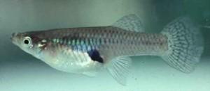 gambusia fish